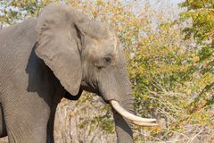 Elephant in alert Royalty Free Stock Image