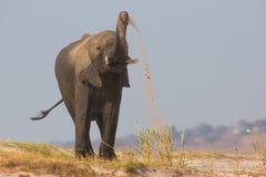 Elephant with amazing trunk skill. Spreading sand Stock Photography