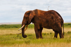 Elephant with amazing tusks Stock Photo