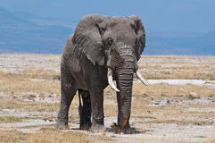 Elephant, Amboseli National Park Royalty Free Stock Images