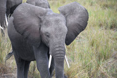 ELEPHANT. AT Amboseli National Park, formerly Maasai Amboseli Game Reserve, is in Kajiado District, Rift Valley Province in Kenya. The ecosystem that spreads Royalty Free Stock Image