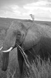 ELEPHANT. AT Amboseli National Park, formerly Maasai Amboseli Game Reserve, is in Kajiado District, Rift Valley Province in Kenya. The ecosystem that spreads Stock Photography