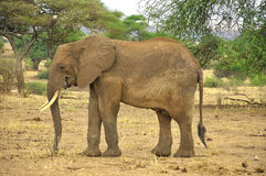 ELEPHANT. AT Amboseli National Park, formerly Maasai Amboseli Game Reserve, is in Kajiado District, Rift Valley Province in Kenya. The ecosystem that spreads Stock Photos