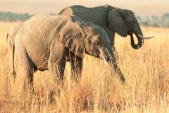 Elephant in Amboseli Stock Photos