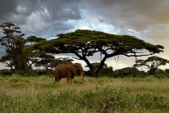 Elephant in Amboseli wildlife stock photo