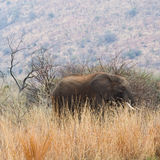 Elephant amongst the long grass. Royalty Free Stock Photography