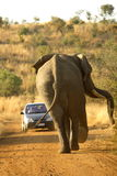 Elephant Anger. African elephant chasing a car, Pilanesburg National Park, South Africa Royalty Free Stock Photography
