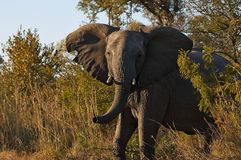 Elephant. Angry elephant emerges from the bush threatening with ears extended Royalty Free Stock Image