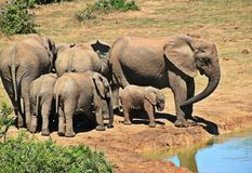 Elephant, Animal, Herd Of Elephants Royalty Free Stock Photos