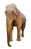 Elephant animal isolated. On white background Stock Photo