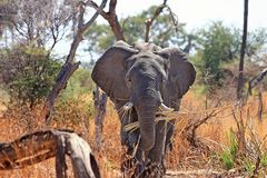 Elephant, Animal, Proboscis, Safari Royalty Free Stock Images