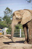 Elephant. Animal in San Diego Zoo Stock Photo
