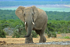 Elephant approach Stock Image