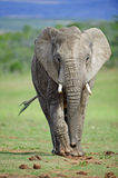 Elephant Approach Royalty Free Stock Image