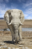 Elephant approaching Royalty Free Stock Photo