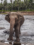 Elephant approaching Stock Photography