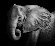 Elephant. Artistic Black and White Image of an African Elephant Royalty Free Stock Image