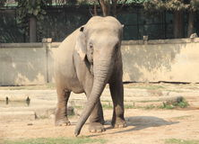 Elephant. Stock Image