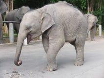 Elephant. Asian baby elephant eat fruit royalty free stock images