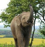 An elephant. An Asian elephant blowing his trunk Royalty Free Stock Image