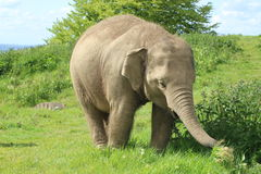 An elephant. An Asian elephant eating plants Stock Photography