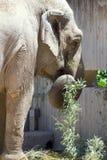 Elephant asian eating plants Stock Images