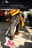 Elephant asking for money after intertainment Royalty Free Stock Images