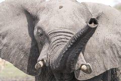 Elephant attack Stock Photography
