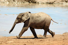 Elephant baby. An active African elephant baby calf running next to a water hole waiting for the herd of the other elephants in a game park in South Africa. This royalty free stock photos