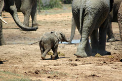 Elephant baby. An active African baby elephant calf walking with his mother cow to a water hole with a herd of other elephants in a game park in South Africa