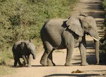 Elephant and Baby. Addo park Royalty Free Stock Image