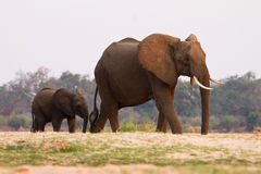 Elephant with baby. South Luangwa, Zambia Royalty Free Stock Image