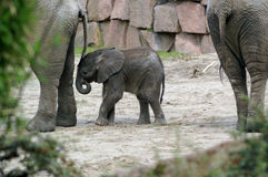 Elephant Baby 2 Stock Photography