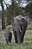 Elephant and baby Royalty Free Stock Photography