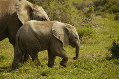 Elephant baby. Baby elephant walking with its mother in africa Stock Images
