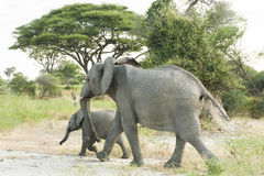 Elephant with baby. Elephant mother with baby running away royalty free stock photography