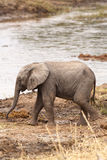 Elephant Baby. Baby African elephant walking near the river stock photos