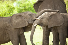 Elephant Baby Royalty Free Stock Photos