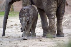 Elephant baby 3. Little newborn elephant baby (one month ago) in zoo berlin, summer 2006 stock image
