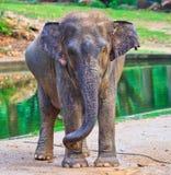 Elephant baby Royalty Free Stock Image