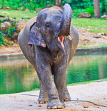 Elephant baby Royalty Free Stock Images