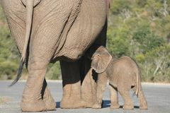 Elephant baby. Small baby elephant suckling on large mother royalty free stock photos