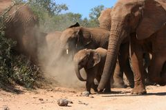 Elephant baby. Small elephant baby walking amongst the herd Royalty Free Stock Photography