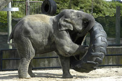 Elephant baby. Baby elephant playing with a tire swing Royalty Free Stock Photos
