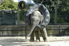 Elephant baby. Baby elephant playing with a tire swing Royalty Free Stock Images