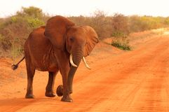Elephant baby in Africa Tsavo National Park royalty free stock photography