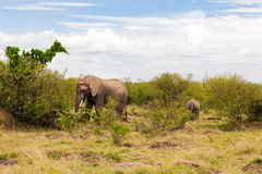 Elephant with baby or calf in savannah at africa Stock Image