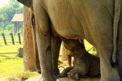 The elephant baby eat milk. Location of photo:Chitwan,Nepal; the elephant in mammals royalty free stock photography