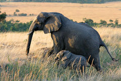 Elephant and Baby Elephant. Elephant and baby in Maasai Mara, Kenya stock images