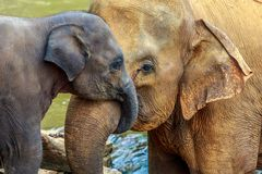 Elephant and baby elephant. Cuddling elephant and baby elephant stock photo